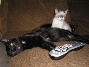 Three kittens hanging out, watching the TV
