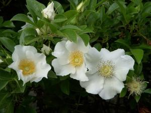 White wild roses