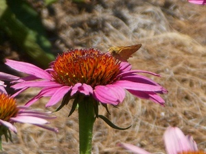 Coneflower and friend.